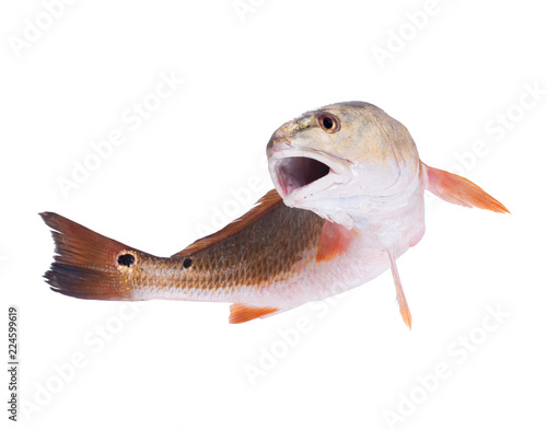 Red Drum (Sciaenops ocellatus).The fish jumps out. Isolated on white background