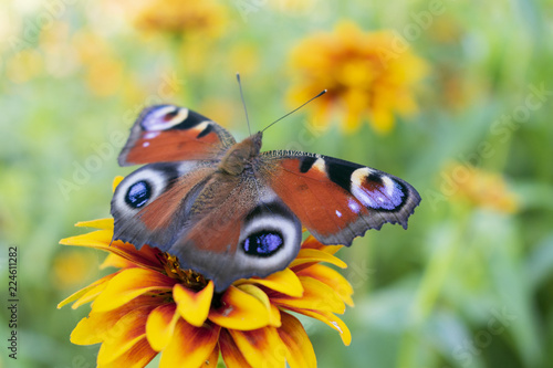 Poster Vlinder red-brown butterfly, Aglais io or peacock eye, on the yellow flower of cynia