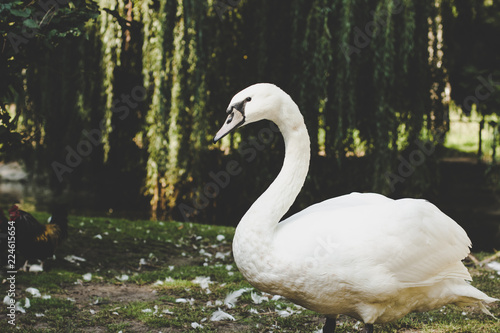soft focus swan animal portrait in colorful outdoor park background in fresh weather