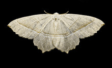 Swallow Tailed Moth In Closeup...