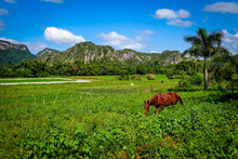 A Red-brown Chestnut Colored Horse Stands In A Lush Green Field Beneath A Palm Tree, Under Blue Skies, With Rock Karst Formations In The Background In The Vinales Province Of Eastern Cuba