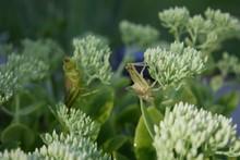 Exoskeleton Of Grasshopper