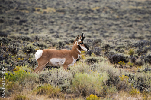 "Photo  Pronghorn ""American Antelope"""