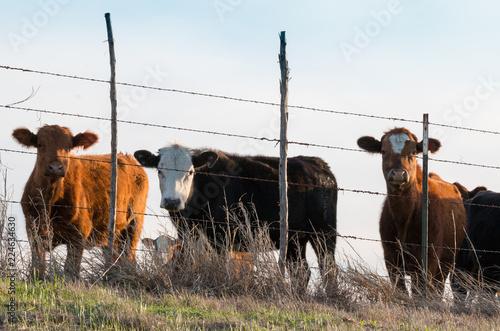 Keuken foto achterwand Texas Three Cows Mexia Texas
