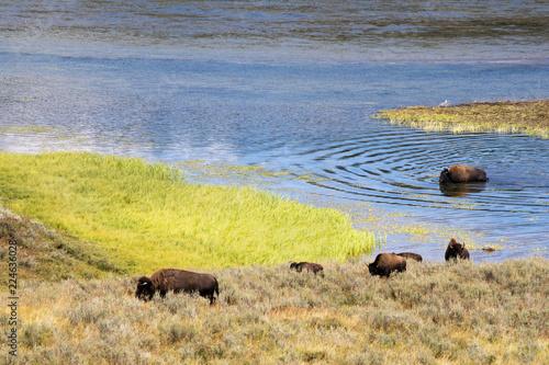 Poster Buffel Bison
