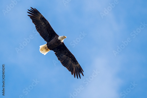 Poster Aigle Bald eagle in flight against blue sky