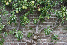 Espalier Pear Tree Background With Vine Ripening Fruit Growing On A Centuries Old Brick Wall And Wire Trellis