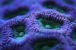 canvas print picture - closeup of purple brain coral
