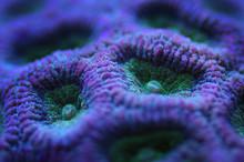 Closeup Of Purple Brain Coral