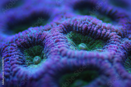 closeup of purple brain coral