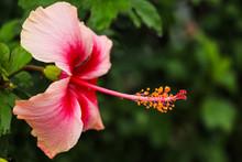 Pink Hibiscus Flower With Drops Rain In Garden