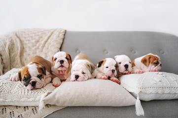 Six beautiful puppies of the english bulldog lies on a sofa with pillows.