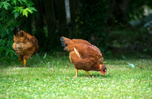 Two Chickens Pecking On The Lawn