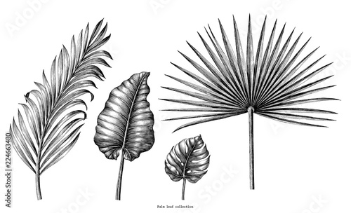 Fotografie, Obraz  Palm leaf collection vintage engraving illustration clip art isolated on white b