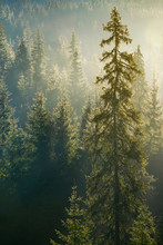 Spruce Tree In Beautiful Light. Distant Forest In Morning Haze. Wonderful Autumn Nature Background