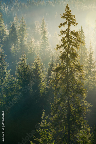 Papiers peints Forets spruce tree in beautiful light. distant forest in morning haze. wonderful autumn nature background