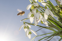 Bee And Snowdrops