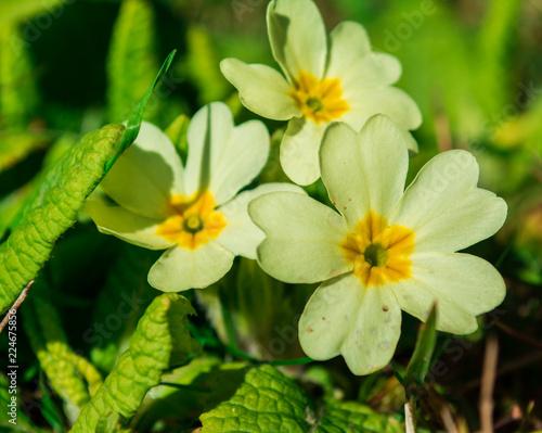 Papiers peints Narcisse Primroses