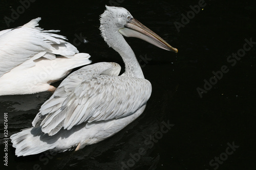 Fotografie, Obraz  Pelican in the pond of Moscow Zoo. June, 2007.