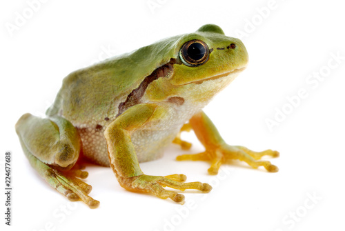 In de dag Kikker Green tree frog isolated on white background