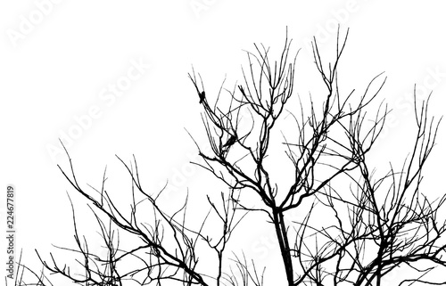 Poster Birds on tree Tree branch and bird silhouette isolated on white background
