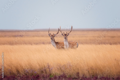 Red deer in wild nature, beautiful steppe landscape with herd of deer (Cervus Elaphus). Stag with large branched horns running through marshland. Dzharylhach island, national nature park, Ukraine