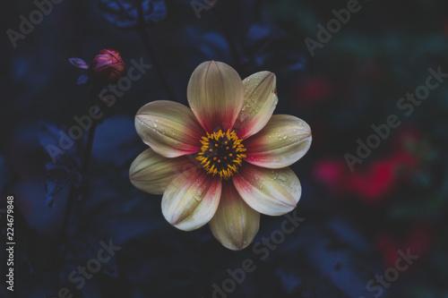 Fotografie, Obraz  Bright flower with dark / black background, wet in the rain