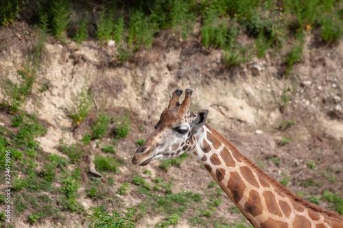 Spoed Foto op Canvas Giraffe giraffe in zoo