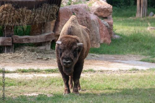Foto op Canvas Bison buffalo in field