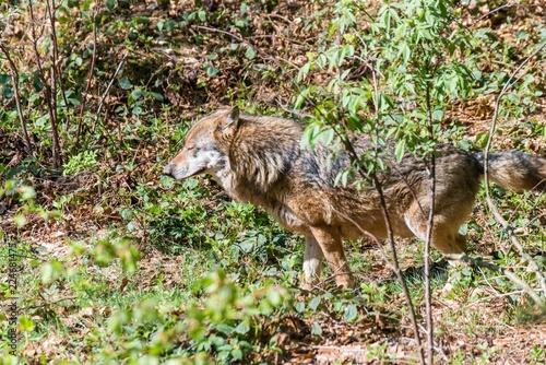 Fotografía  Nahaufnahme eines männlichen Wolfes beim Urinieren und Revier markieren, Deutsch