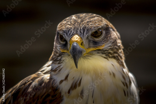 Portrait of a falcon in Feldberg Germany Canvas Print