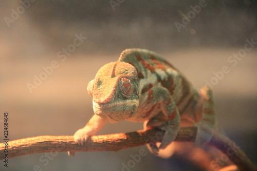 Staande foto Kameleon 左右別に動く目で周囲をうかがうカメレオン