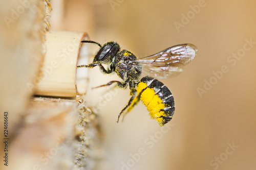 Solitary resin bee (Heriades crenulatus) approaches an insect hotel to bring yellow pollen of aster flowers to its nest in a hollow reed stalk Slika na platnu