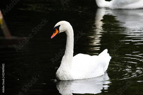 Foto op Plexiglas Zwaan A beautiful swan floats along the river