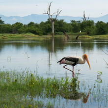 An Adult Painted Stork Stands In The Shallow Water Of A Lake In Udawalawe National Park