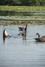 Canadian Geese Long Island NY South Shore
