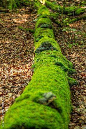 Photographie  Murken mossklädd stock i bokskog