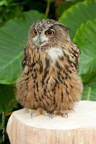 Spoed Foto op Canvas Uil Eurasian eagle-owl (Bubo bubo) also known as European eagle-owl looking to the side. Vertical shot. Background with green leaves.
