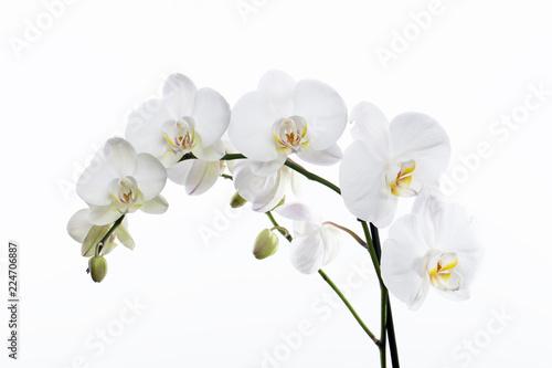 Fotografia  Orquídea blanca