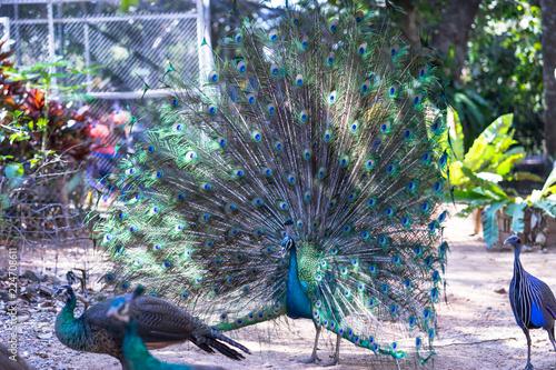 Foto op Plexiglas Pauw Peacock portait Close up of peacock showing its beautiful feathers. Beautiful peacock.