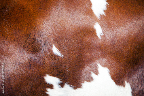 red and white part of hide on side of spotted cow