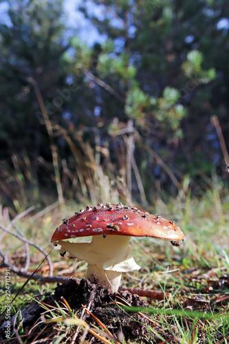 Vászonkép Dancing mushroom