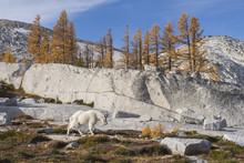A Lone Mountain Goat Roams Thr...