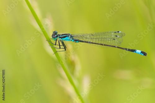 Blaue Libelle, Azurjungfer