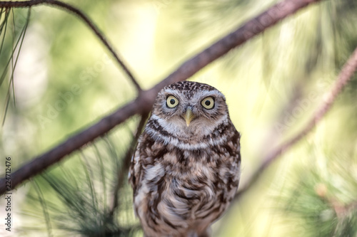 Keuken foto achterwand Uil Owls, Pygmy owl (Glaucidium passerinum) sitting on the pine tree branch and looking, natural artistic animal background, wildlife