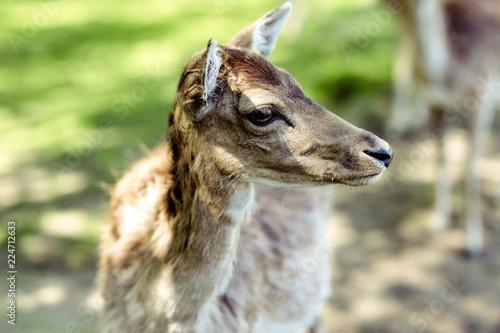 Deurstickers Hert portrait of a baby deer cub