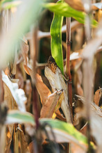 Selective Focus Of One Corn Cob In Autumnal Withering Field