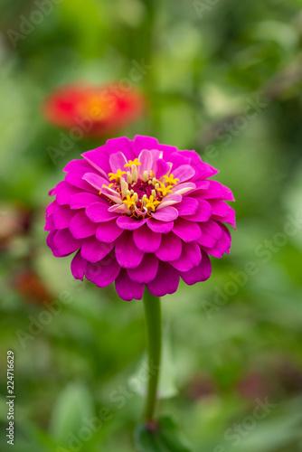 Αφίσα  Zinnia.  Flower of Zinnia. Floral background. Common Zinnia.