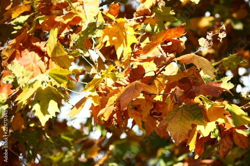 Осенняя листва, желтые листья на деревьях Wallpaper Mural
