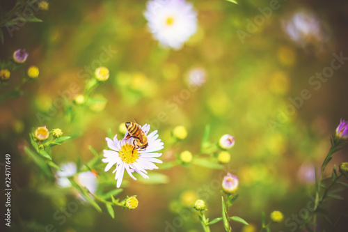 Foto op Canvas Bloemen Bee on autumn or summer small flowers. Asters. floral background.